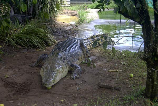 Crocodylus, Darwin