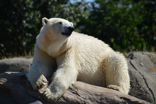 Rotterdam orso bianco zoo Olanda